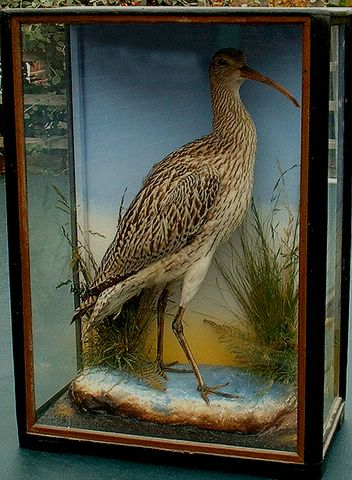 Whimbrel (Hutchings) [640x480].jpg